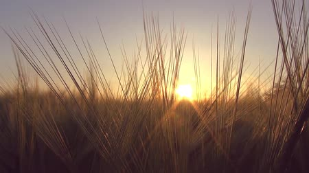 raios de sol : Panoramic move in a wheat field with a sunbeam through wheat ears blue sky Full HD
