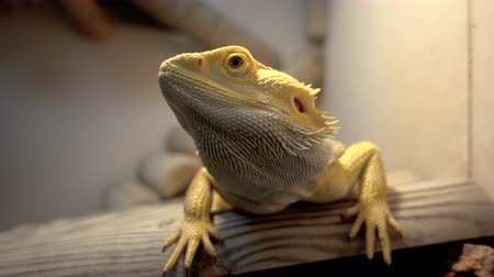 pogona : Agama lizard, bearded dragon in terrarium on wooden branch Stock Footage