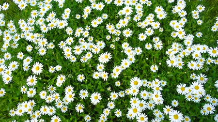 margaréta : Summer field, meadow with white daisies