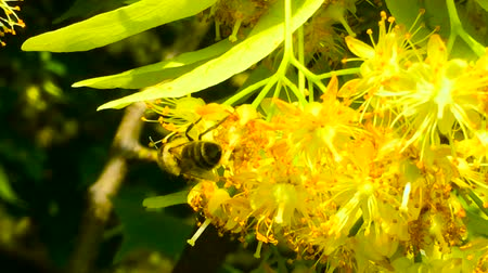 linden : Honey bee in Linden Flowers, Apis Carnica in Linden Flowers, close up of Bumble bee collecting nectar, honey, bee pollinating Stock Footage