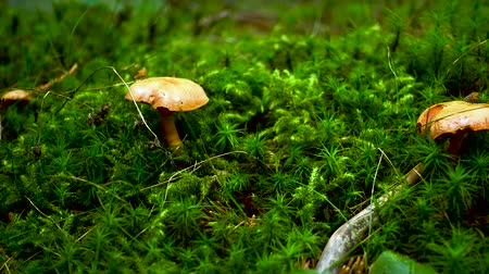 borowik : Brown and yellow mushroom on green moss in forest