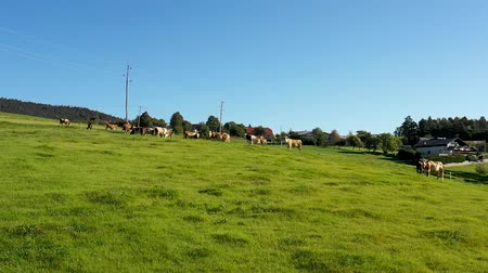 cowherd : Catlle herd grazing on mountain pasture, aerial footage, rural scene. Stock Footage