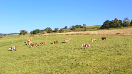 cowherd : Catlle herd grazing on mountain pasture, aerial footage, rural scene, ecological agriculture, dairy farm.
