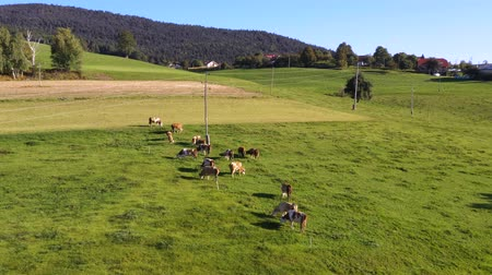 cowherd : Catlle herd grazing on mountain pasture, aerial footage, rural scene ecological agriculture, dairy farm. Stock Footage