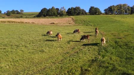 cowherd : Catlle herd grazing on mountain pasture, aerial footage, rural scene, ecological agriculture, dairy farm