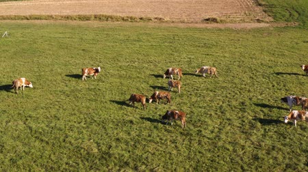 cowherd : Catlle herd grazing on mountain pasture, aerial footage, rural scene, dairy farm, traditional agriculture.