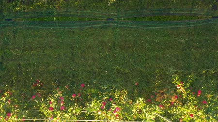 plantação : Apple plantation, orchard with anti hail net for protection birds eye view directlz from above, rows of apple trees
