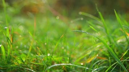 gota de orvalho : green grass with water drops