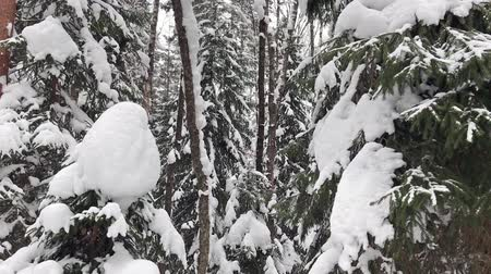 covering : Falling snow in a winter park with snow covered trees. Winter forest walk. Stock Footage
