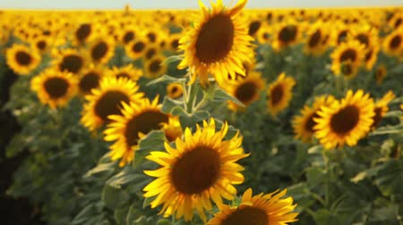 on nature : Sunflower field during sunset Stock Footage