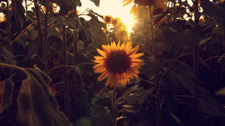girassóis : Sunflower field during sunset Vídeos
