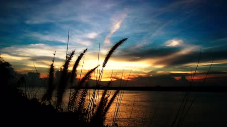 çim : Wild grasses blowing in the wind at sunset time