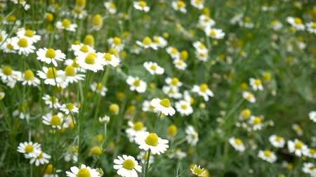 rumianek : 4K footage field of daisy chamomile with wind as a flowering ornamental plant for gardens and meadow landscape, vintage color tone