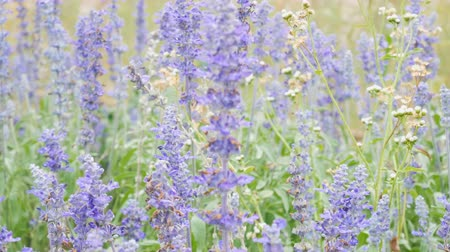 perene : 4K footage. blue salvia (blue sage) flower. Beautiful violet flowers on the meadow with grass Stock Footage