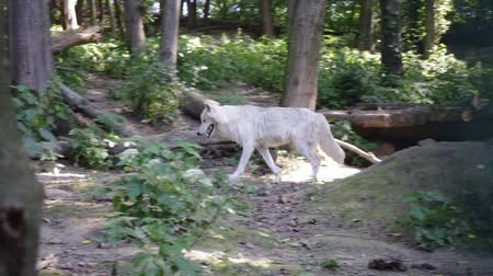 волк : White wolf and puppy of a white wolf in a special open-air cage