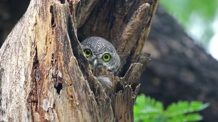 twig : Spotted owlet Athene brama Beautiful Birds in tree hollow