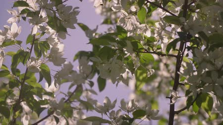 пробуждение : A beautiful tree with white to flowers Стоковые видеозаписи