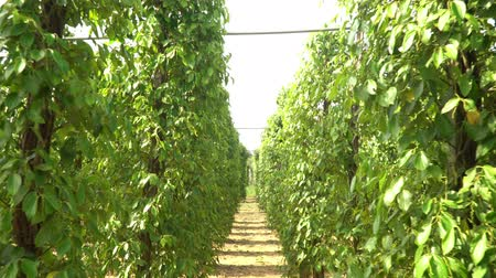 green peas : Plantations of black pepper. Black pepper grows on the ground. Plantations of black pepper in Asia. More plantation of pea pepper. Stock Footage
