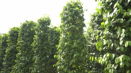 bezelye : Plantations of black pepper. Black pepper grows on the ground. Plantations of black pepper in Asia. More plantation of pea pepper. Stok Video