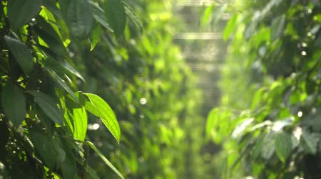 peppercorn : Plantations of black pepper. Black pepper grows on the ground. Plantations of black pepper in Asia. More plantation of pea pepper. Stock Footage