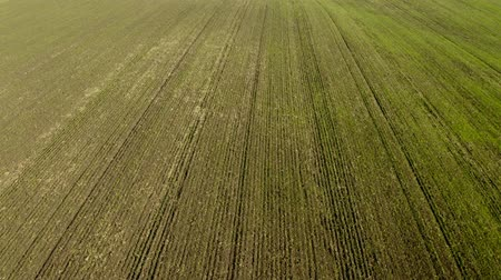 herbicides : An aerial shot of soybean field ripening at spring season, agricultural landscape. 4K. Stock Footage
