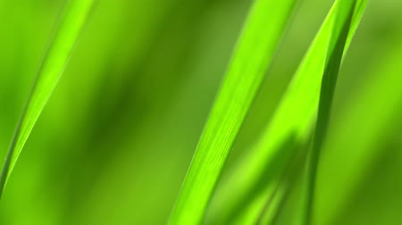 harmatcsepp : Vibrant green grass close-up. Green grass macro. Abstract natural background of green grass and beauty blurred bokeh. Summer.