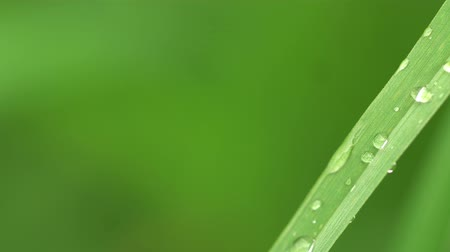 gramíneo : Fresh green grass with dew drops clips,dew drops on green grass footage,rain drops on green grass video, 4k dew drop on green grass movie.
