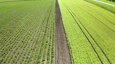 соя : An aerial shot of soybean field ripening at spring season, agricultural landscape