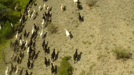 травянистый : Aerial view of herd of mountain goats in the grassy landscape in Leenane countryside,