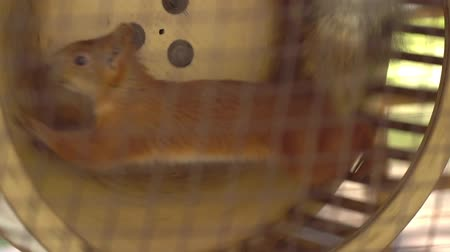 lado : Squirrel in captivity. Squirrel diligently runs on a wheel. Animals in captivity.