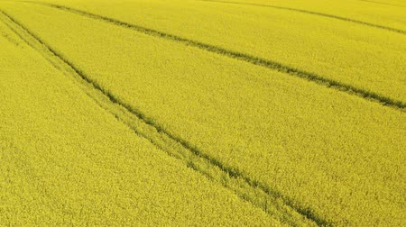 hardal : Aerial above view of spring rapeseed flower field blooming beautiful yellow rapeseed flowers field at spring day, beautiful spring landscape 4k drone footage Stok Video