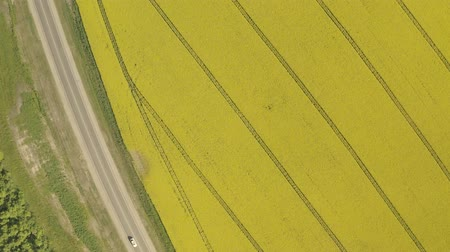 mustár : Aerial above view of spring rapeseed flower field blooming beautiful yellow rapeseed flowers field at spring day, beautiful spring landscape 4k drone footage Stock mozgókép