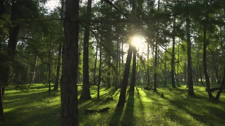 pilares : Sunny Evening in a Wild Forest. Camera movement. 4K.