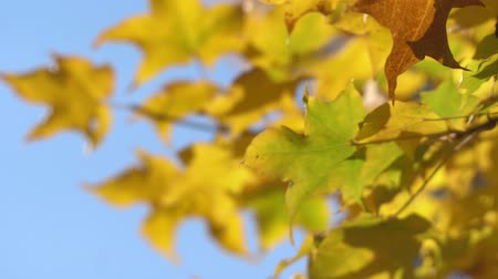 pień : CLOSE UP: Maple tree branches are blowing against on clear blue sky background ,maple leaves turn from orange to bright red in landscape , autumn season