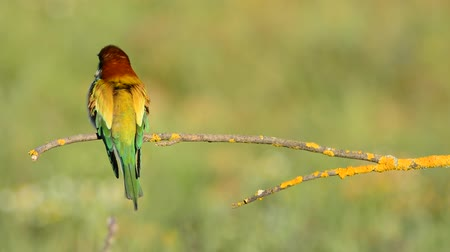 colorido : Bee-eater perched on a branch