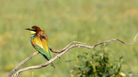 pszczoła : Bright colorful bee-eater on tree branch Against background of green.