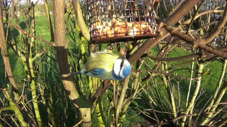певчая птица : A close up recording of a Eurasian blue tit bird feeding in a domestic garden in northern England.