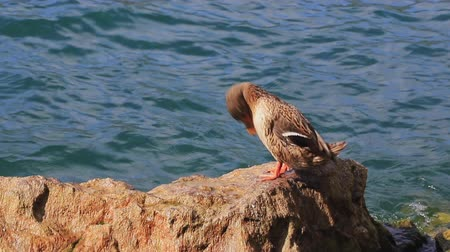 beside : A female mallard preens herself beside Lake Garda in Italy while perched on a rock.