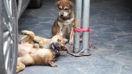 Playful Purebred Puppies Play on the Ground