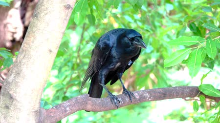 looking for : Crow on tree Stock Footage