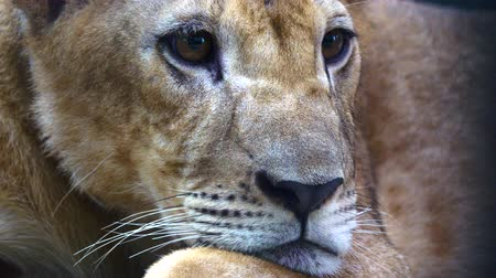 fofinho : Close up Young lioness Stock Footage