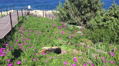 kutya : The Dog Lies in Flowers Against Background of Sea