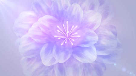 waggle : blooming purple flower from top view Stock Footage