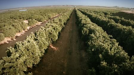 laranjas : Forward aerial view of an orange trees field. Camera rising up followed by a wide angle shot. Seville, Spain. HD