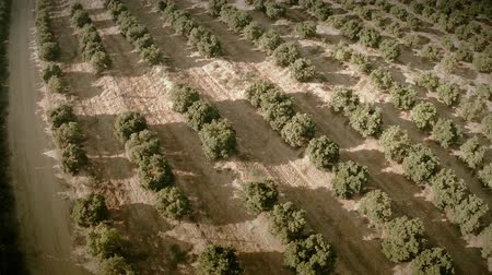asseado : Aerial view of a field of orange trees. Great top shot in a very clear summer day. Seville, Spain. HD Vídeos
