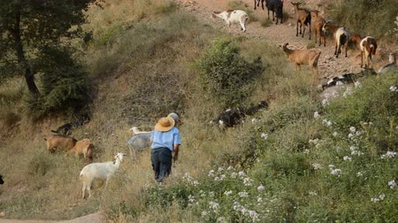 goatherd : Here is some footage of a goatherd walking uphill form left to right with his goats. Scene from the back.