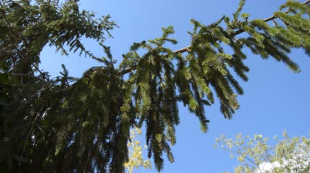 This is footage of a pine tree branch in the blue sky as the background. Стоковые видеозаписи
