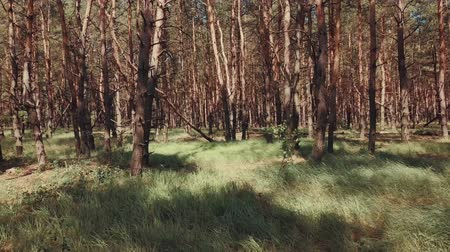 Pine forest in warm summer day Stockvideo