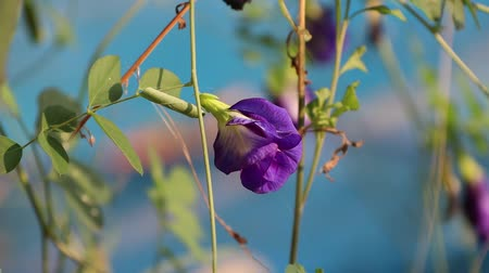ervilhas : Purple pea flower with green leaf on out focus blue background, with sunlight in the morning.