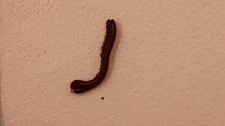 bin : Breeding of two millipedes on the wall. Millipedes are those long black bugs with what seems like a million tiny legs.